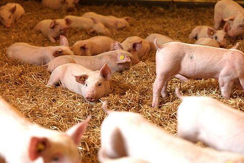 pig-farming-system-production