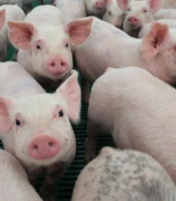 Pig Farming Equipment Companies in Africa