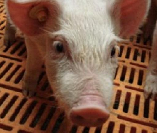 pig cooling system
