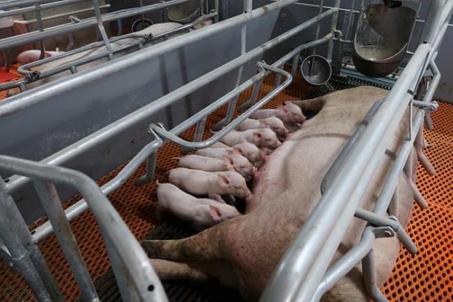 storey pig farm